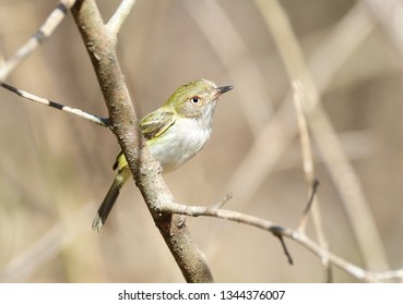 Close up of a small  Pale-eyed Pygmy Tyrant (Atalotriccus pilaris) on a tree branch