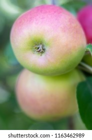 Close up of small rosey ripening apple on backyard apple tree with soft focus background.