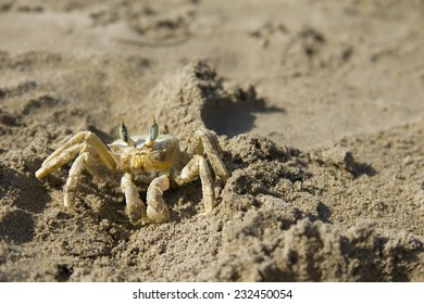 Close up of small sea, marine crab on beach of Turkey in sand. background.