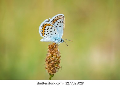 Close up of a small silver-studded blue butterfly Plebejus argus resting on vegetation