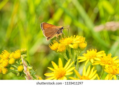Close up of a Small Skipper butterfly feeding on nectar from a Groundsell flower