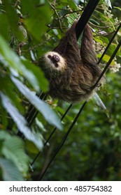 close up of a small sloth crossing the road using the power lines in Costa Rica