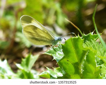 Close up of small white butterfly, Pieris rapae, small cabbage white butterfly feeding on a flower