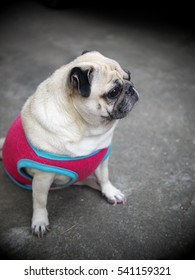 close up of a small white fat lovely cute pug dog wearing red blue dog shirt hanging around on the floor outdoor in home garden with expression of thinking, curiosity, sadness, waiting for someone
