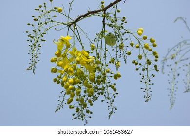 Close up Small Yellow Flower or Cassia fistula flower