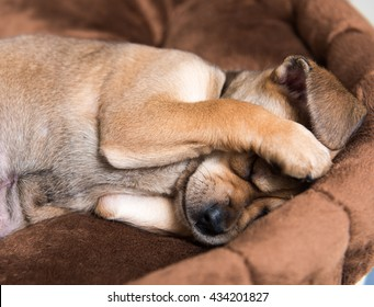 Close Up of Small Young Terrier Mix Puppy Hiding Face in Brown Plush Dog Bed