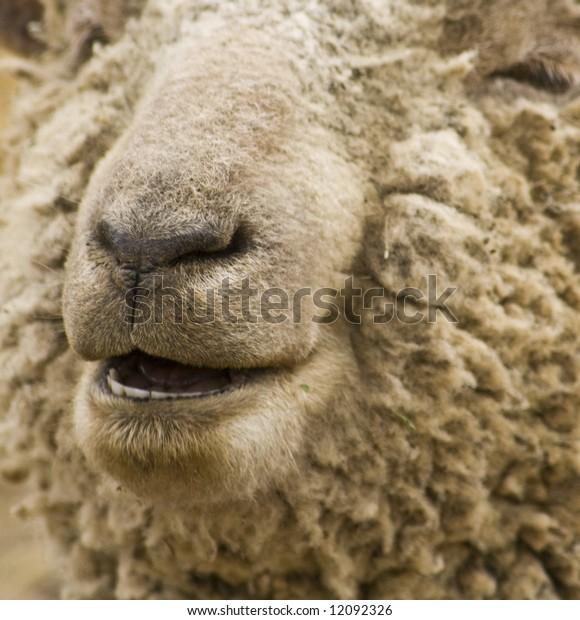 close up of a smiling sheep