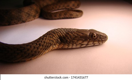 Close up of Snake on a white background. snake isolated. Closeup of water snake is a non venomous.  Snake in the studio Veterinarian exotic. Veterinarian wildlife. veterinary medicine. Reptile.
