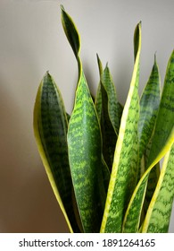 Close up of Snake Plant leaves against white, isolated - Dracaena trifasciata green leaves