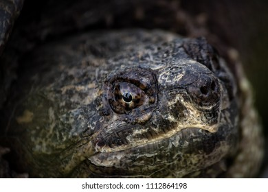 Close Up Of Snapping Turtle