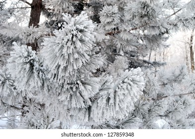 close up of snow covered pine needles