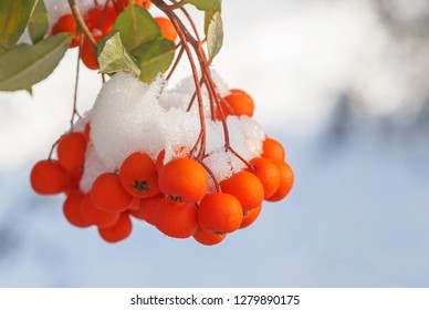 close up of snow on ashberry