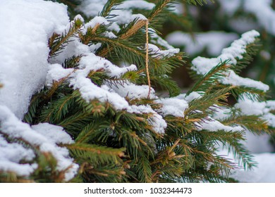 Close up of snow on the branches of spruce