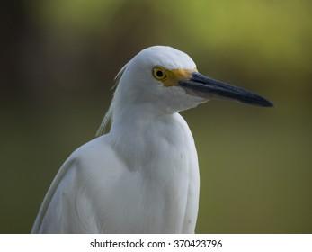 Close up of Snowy Egret bird