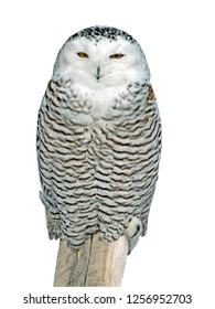 Close up of Snowy Owl portrait sitting on post, against white background. ( Nyctea scandiaca )