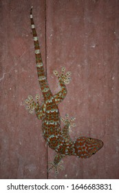 Close up and soft focus of Gecko or Tropical asian geckos (Gekko gecko) on the wall of the house, of beautiful skin gecko. It is one of the largest in family  ‎Gekkonidae. Thailand.