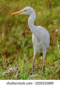 Close up soft focus the white bird Great egret with blurry nature background