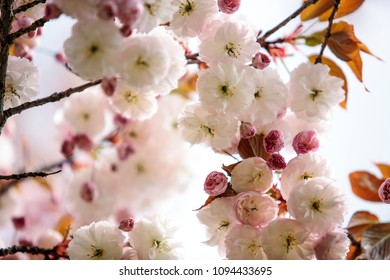 Close Up of Soft pink cherry blossoms in spring