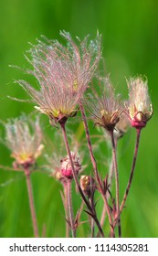 Close up of soft pink Prairie Smoke flowers growing in the firld. Also known as Old Man's Whiskers and Three-flowered Avens. W Carden Alvar Provincial Park, Kawartha Lakes, Ontario, Canada.