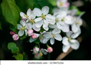 Close Up of Soft white cherry blossoms in spring