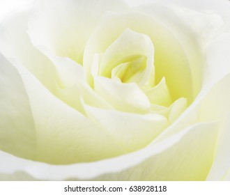 Close up of a soft yellow rose.