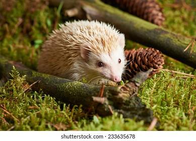 Close up Solo Light Brown Spiny Hedgehog Animal on Grassland with Sticks. Captured in studio.