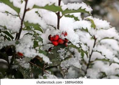 A close up of some bright red holly berries surrounded by snow covered leaves