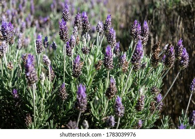 Close up of some Lavender flowers (Lavandula dentata - a species of flowering plant in the family Lamiaceae) cultivated in the agriculture fields of Cunha - Sao Paulo / Brazil