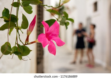 Close Up of Some Pink Flowers on Blur Background. Locorotondo in Summer Time, Italy