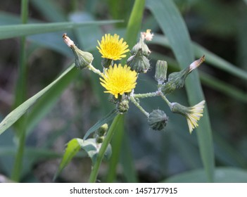 close up of Sonchus asper, also commonly known as the prickly sow-thistle, rough milk thistle, spiny sowthistle, sharp-fringed sow thistle, or spiny-leaved sow thistle