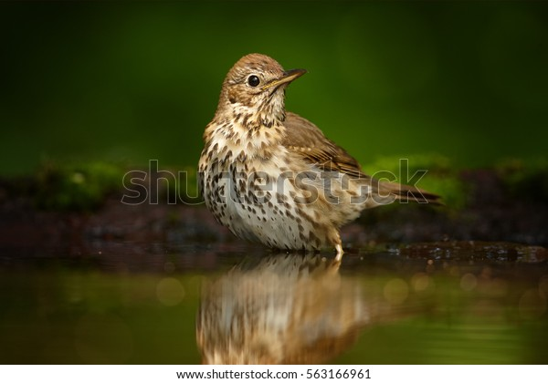 Close up Song Thrush, Turdus philomelos enjoying bath in deep european forest. Hot summer. Bather bird in water against dark green background. Hungary.