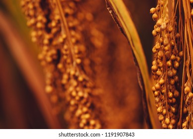 Close up of sorghum bicolor cultivated in field, selective focus