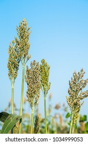 Close up Sorghum or Millet an important cereal crop in field agent blue sky