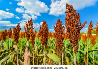 Close up of sorghum on blue sky.