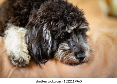 close up of a soulful black and white cockapoo (cavoodle) puppy, cockapoos have a sweet nature and are ideal companions