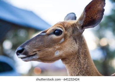 Close up of a South African buck called Nyala