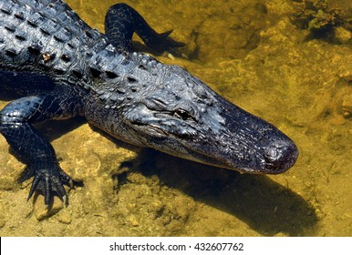 Close up of a South Florida American Alligator (Alligator mississippiensis).