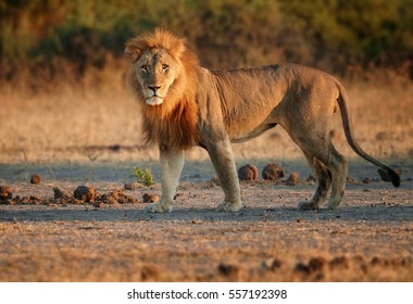 Close up Southern African lion, Panthera leo melanochaita. Lion in mating period lit by early morning light, staring directly at camera. Low angle view. Chobe national park, Botswana.