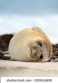 Close up of a Southern Elephant seal lying on a sandy beach on a coastal area of Atlantic ocean, Falkland islands.