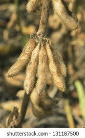 Close up to a soy bean plant, in a field with intensive farming