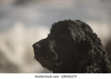 close up spaniel