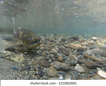 Close Up Of A Spawning Chinook Salmon In Washington State
