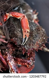 Close up of spider crabs claws on a market stall