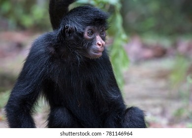 Close up of a Spider Monkey in the Amazon rainforest in Colombia