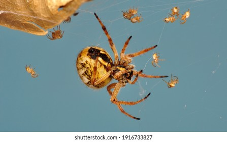 Close up Spider's nest,   Cobweb spider. They started making silk to protect their bodies and their eggs.