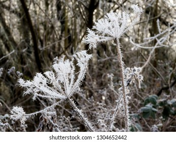 Close up of spiked ice crystals formed by frost on the heads of a Wild Parsley plant.
