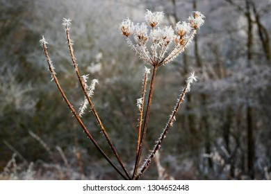 Close up of spikey ice crystals on a Wild Parlsey flower formed by a heavy frost.