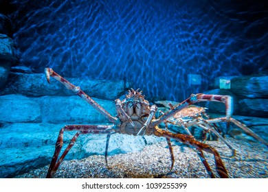 Close up of a spiny lobster in crystal clear blue water