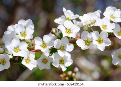 Close up of Spiraea thunbergii (also known as baby's breath spirea, Thunberg spirea, and 'yukiyanagi' in Japanese)
