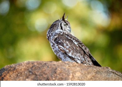 Close up Spotted eagle-owl, Bubo africanus, isolated on a granit rock, looking right. Side view. Wild owl against green background, wildlife photography in Lake Chivero, close to Harare, Zimbabwe.